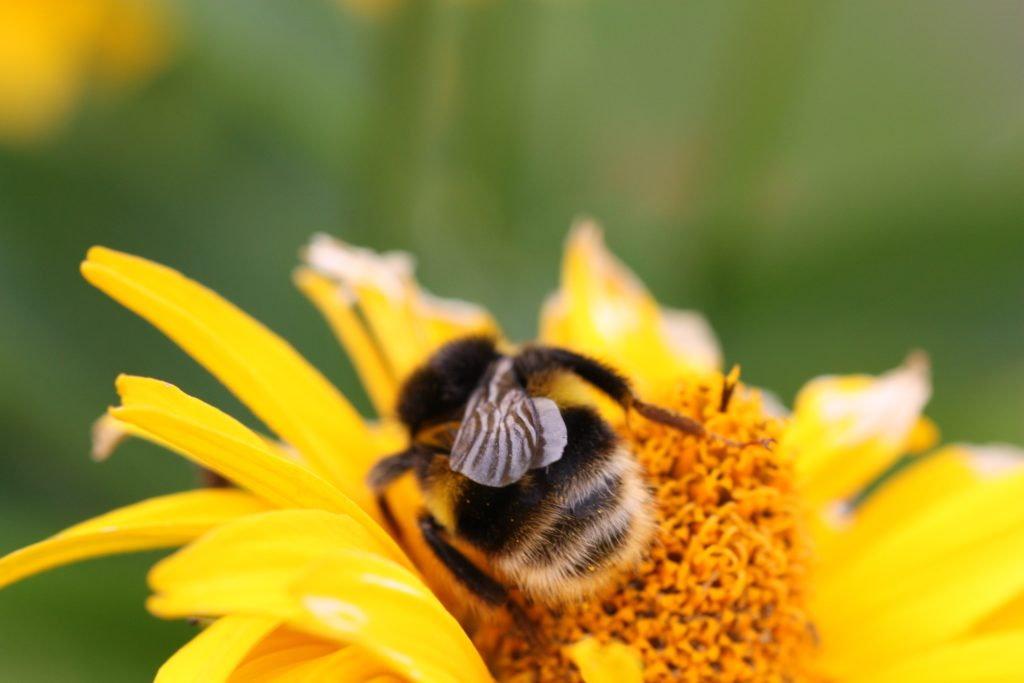 Photo of bee pollinating a flower.